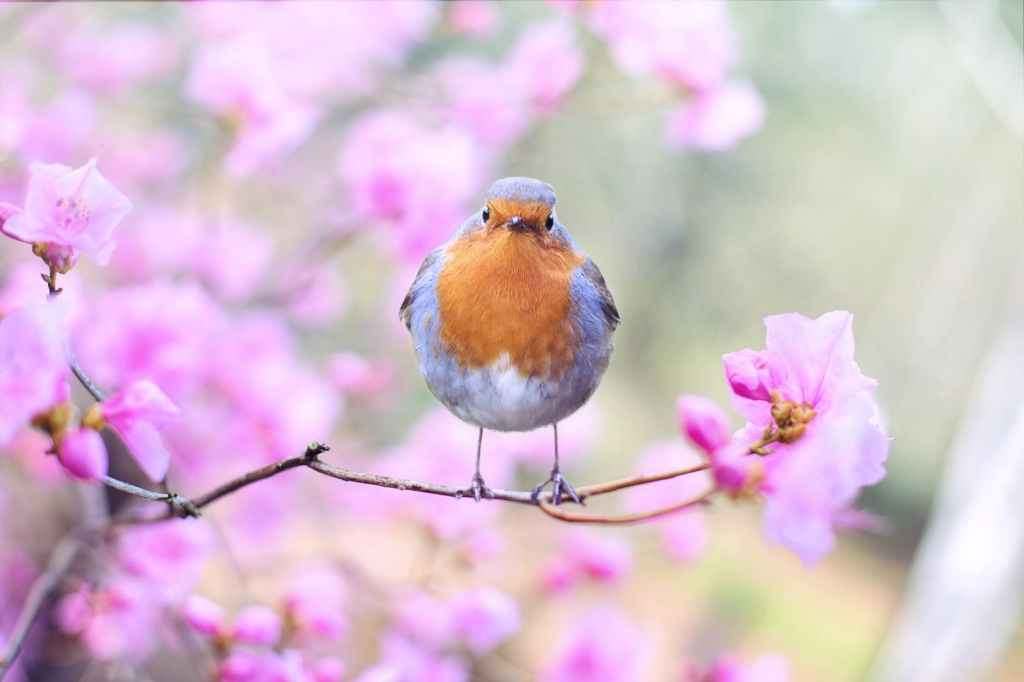 A male robin with pink flowers on the background.