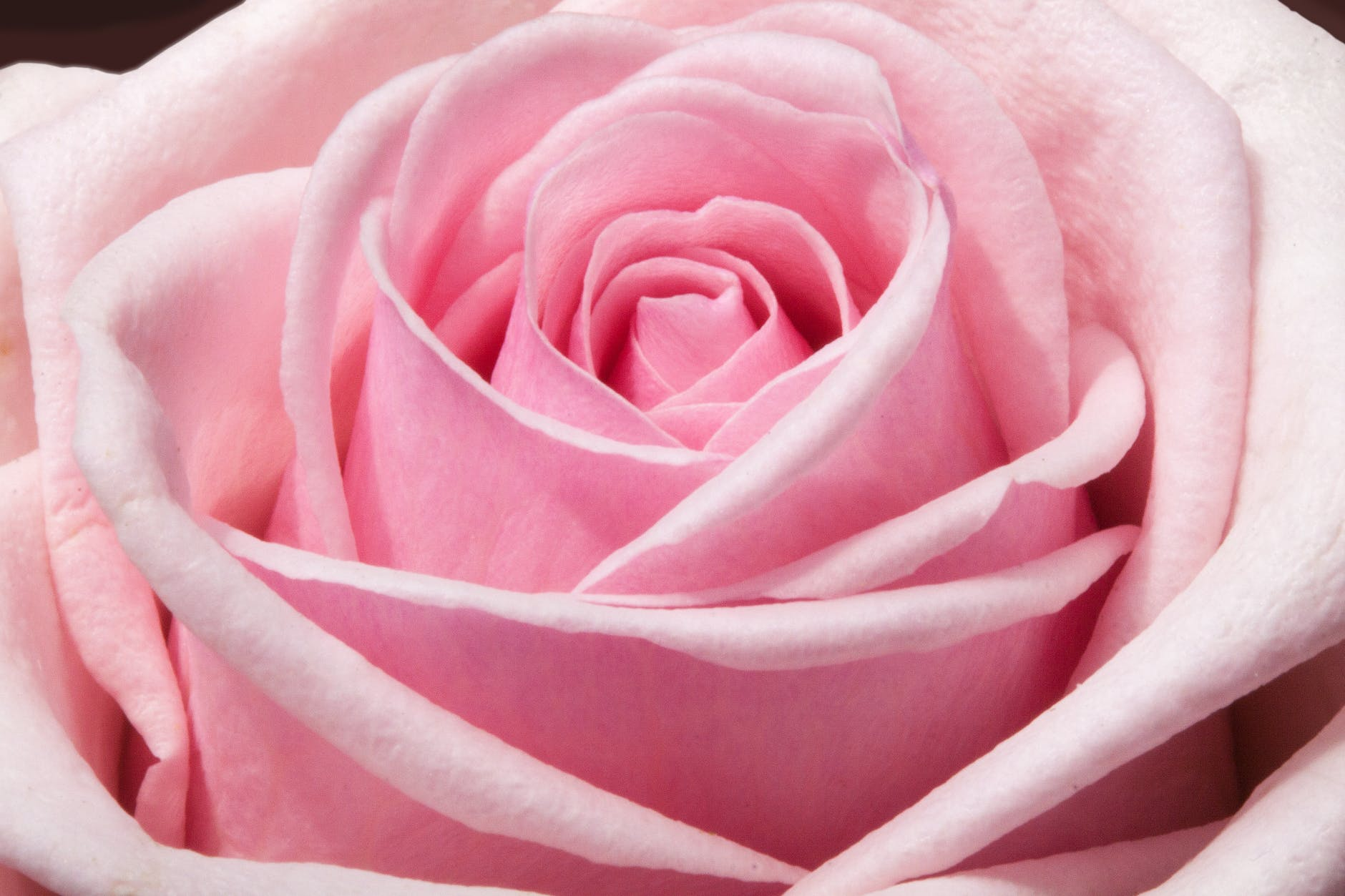 Close-up of a pink rose.