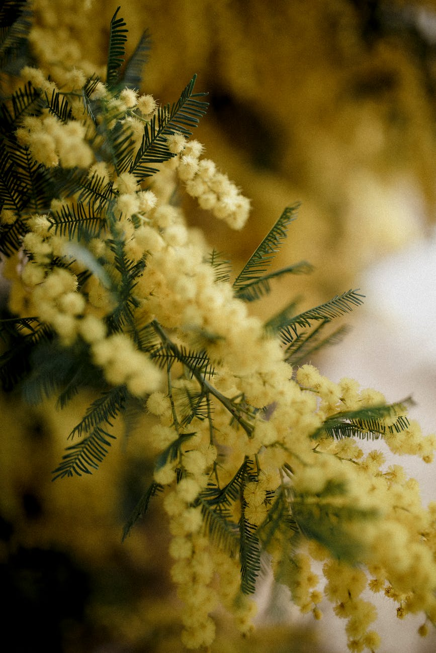Blurry close-up of a Mimosa plant with its small yellow flowers.