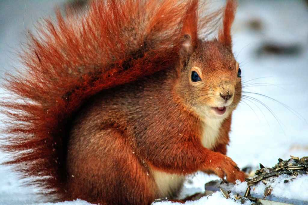 Red and fluffy squirrell in the snow.